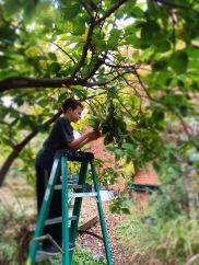 Harvesting Persimmons